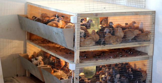 Брудер для суточных цыплят бройлеров своими руками