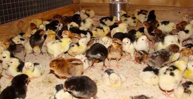 Выращивание цыплят кучинских в домашних условиях 21