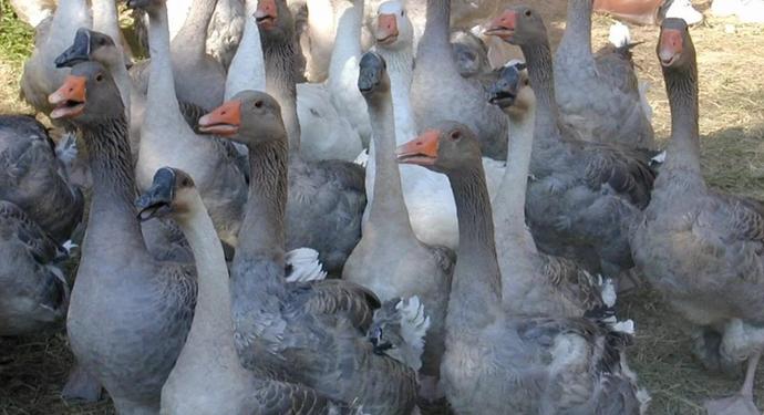 Выращивание разведение гусей 5