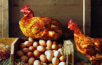 Может ли курица в домашнем хозяйстве нести яйца без петуха