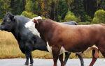 Породы сельскохозяйственных быков