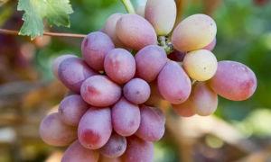 Столовый виноград Кардинал — раннеспелая ягода к десертному столу
