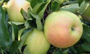 Яблоня зимнего сорта Звездочка