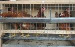 Клетки для домашних кур: безопасность и удобство содержания