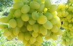 Виноград Аркадия — неустанный труженик наших виноградников