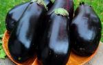 Баклажан сорта черный красавец: особенности посадки и выращивания