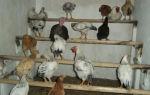 Насест для домашних кур: особенности построения в домашних условиях