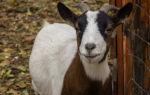 Понос у домашней козы: способы решения проблемы