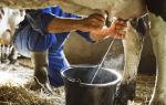 Доение домашних коров