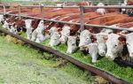 Разведение быков на мясо: выбор породы и требования к содержанию