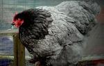 Кохинхин, порода домашних кур: описание