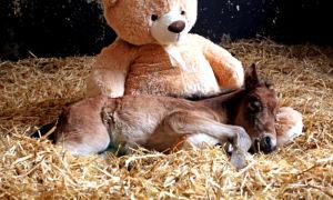 Почему после рождения маленький жеребенок не встает