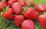 Клубника сорта элиане: особенности посадки и выращивания высокоурожайной ягоды