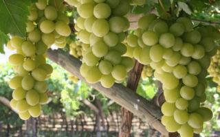 Виноград сорта богатяновский: особенности выращивания и ухода
