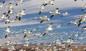 Как летают гуси