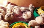 Цыплята Мастер Грей: самые продуктивные и выносливые