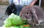 Чем кормить ручных кроликов