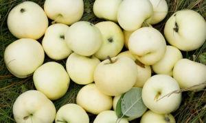 Яблоня сорта белый налив: особенности посадки и выращивания ранних плодов