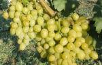 Селекционный виноград Галахад — новый, перспективный, высокоурожайный сорт.