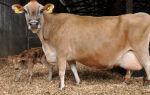 Задержание последа у домашних коров