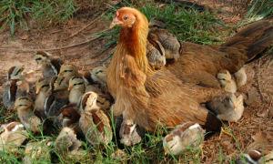 Как распознать и вылечить кокцидиоз у домашних цыплят