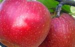 Яблоня Антей — позднеспелый сорт с отменными лежкостью и вкусом