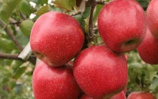 Яблоня Джонаголд — позднеспелый сорт с высокими потребительскими качествами
