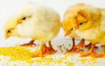 Можно ли давать домашним цыплятам разные виды пищи