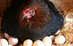 Сколько яиц несет курица в год, неделю, день: возможные проблемы и способы их решения