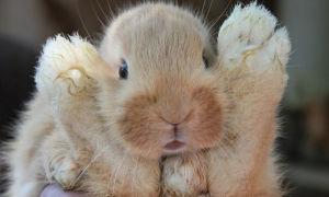 Лапка ручного кролика