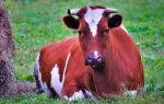 Как определить стельность домашней коровы