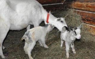 Действия при обнаружении у козы кровяных и других выделений после родов