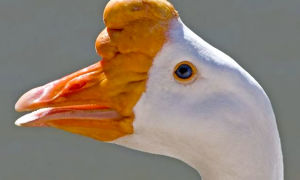 Чем отличается клюв у разных пород  гусей