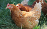 Как отличить старую курицу от молодки: способы определения молодой курицы