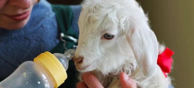Чем кормить ягненка, если овца отказалась от кормешки