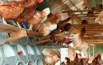 Особенность содержания домашних кур различными способами