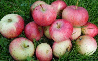 Яблоня сорта Елена: особенности посадки и выращивания