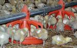 Кормушки своими руками для домашних цыплят