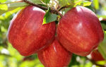 Яблоня крупносортная Гала