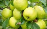 Яблоня сорта антоновка: особенности посадки и выращивания