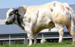 Сколько обычно весит бык