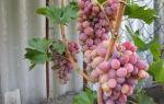 Виноград универсальный морозостойкий Восторг