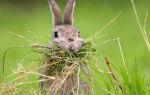 Какую траву стоит и можно давать кроликам