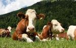 Выгодно ли держать корову