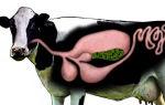 Сколько желудков есть у коровы, а также особенности строения и основные патологии
