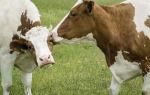 Искусственное осеменение сельскохозяйственных коров