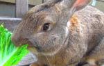 Можно ли давать домашним кроликам капусту