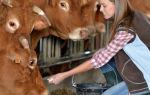 Особенности кормление коров: разновидности рациона