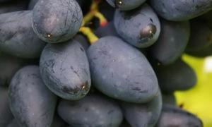 Скороспелый виноград Викинг — гибридный сорт с вкуснейшими ягодами