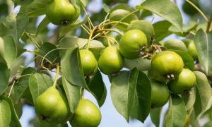 Груша сорта Вильямс: особенности посадки и выращивания